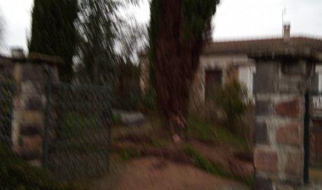 Les cyprès de Provence à abattre